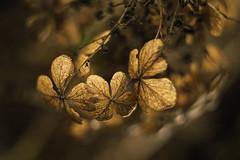 2019-01-12 Glen Cairn Gardens_0303_SUM copy (goDonato) Tags: winter dead leaves flowers withered lifeless art gastonia charlotte nc north carolina