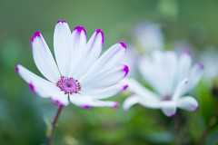 cineraria 1413 (junjiaoyama) Tags: japan flower plant cineraria white pink winter macro bokeh oo
