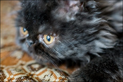 17drd0351 (dmitryzhkov) Tags: indoor cat animal pet color colour sony moscow russia city urban home animalsinthecity aitcselect selection