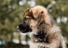 2019-03-02, Mel x Dezi Red Female-6 (Falon167) Tags: gsd germanshepherddog german shepherd dog puppy mel dezi melxdezi litter bessie puppies
