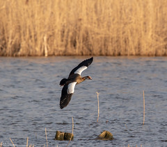 Egyptian Goose (Steve (Hooky) Waddingham) Tags: stevenwaddinghamphotography animal countryside bird british nature flight wild wildlife wildfowl rutland water planet