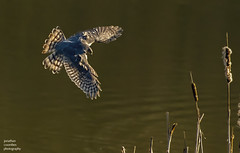 Male Sparrowhawk hunting Snipe (jonathancoombes) Tags: sparrowhawk hawk raptor birdofprey nature wildlife explore