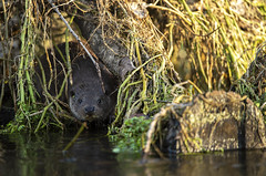 European Otter (Benjamin Joseph Andrew) Tags: mammal aquatic winter freshwater river one lone single individual