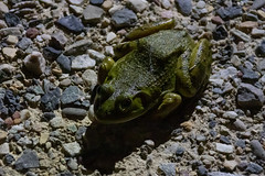 Bullfrog - Palisade, Colorado (BeerAndLoathing) Tags: 2018 pallisade usa palisade roadtrip frogs 77d pallisadetrip colorado trip lake canon summer august bullfrog canoneos77d
