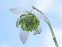 Double snowdrop against the sky (mira66) Tags: macro snowdrop double flower spring