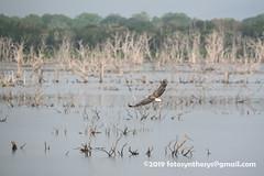 White-bellied Sea Eagle (Haliaeetus leucogaster), adult DSC_0819 (fotosynthesys) Tags: whitebelliedseaeagle haliaeetusleucogaster seaeagle eagle accipitridae raptor bird srilanka
