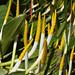 Orontium aquaticum L.  オロンティウム・アクアティクム