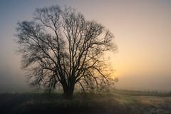 Misty sunrise (de_frakke) Tags: dijleland korbeekdijle vlaamsbrabant natuur nature foggy mist sunrise zonsopgang ochtend boom tree
