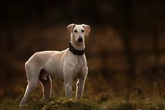 'Bodie' (Jonathan Casey) Tags: dog rescue pact sanctuary norfolk uk nikon lurcher d850 400mm f28 vr