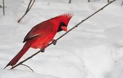 I'm branching out (Meryl Raddatz) Tags: bird cardinal nature naturephotography winter snow canada