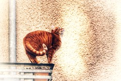 Hypnotized by a pigeon (frenziM´s little world) Tags: cat animal pet gingercat snapshot chat katze artistic artisticphotography