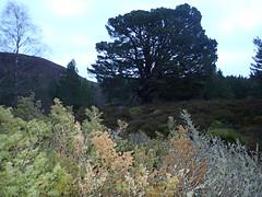 Cairngorms National Park (BSCG (Badenoch and Strathspey Conservation Group)) Tags: cnp forest dusk landscape tree flash march juniper