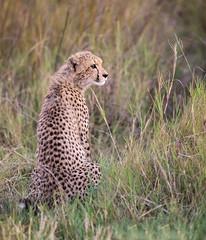 Cheetah cub (Thomas Retterath) Tags: natur nature safari nopeople 2018 okavangodelta botswana africa afrika mapula thomasretterath wildlife cheetah acinonyxjubatus gepard felidae raubtiere predator carnivore säugetier mammals animals tiere cub