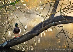 Enjoying the view (awardphotography73) Tags: light phototherapy nature sigma tranquility nikon cardiff wales scenery wildlife morning trees branches sunlight spring duck