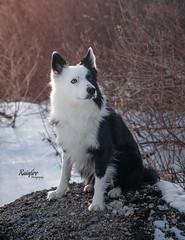 His Regal Pose (Rainfire Photography) Tags: dog bordercollie splitface toronto handsome beautiful nikon pet photographer