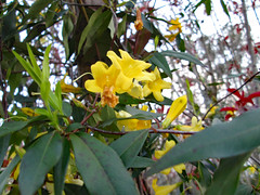 Flowers Of A Carolina Jessamine. (dccradio) Tags: lumberton nc northcarolina robesoncounty outdoor outdoors outside nature natural carolinajessamine flower floral flowers flowering southern beauty beautiful scenic plant yellow yellowflower yellowflowers sky march thursday evening goodevening thursdayevening spring springtime canon powershot a3400is