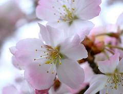 Spring cherry blossom (dorian.blake@btinternet.com) Tags: spring cherry blossom flowers petals blossoms trees cherrytrees buds plants twigs pink