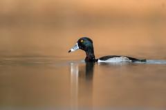 Ring-Necked Duck (nikunj.m.patel) Tags: waterfowl nature wild wildlife nikon ducks wildfowl water pond arizona migration ducksunlimited naturephotography