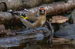 Goldfinch ^-14