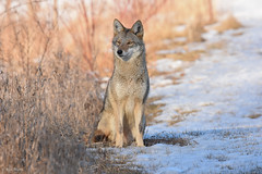 Eastern Coyote (female) (aj4095) Tags: eastern coyote nature wildlife canid nikon ontario canada