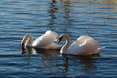 Beautiful Couple (evisdotter) Tags: swans svanar muteswan knölsvan birds fåglar water light reflections nature sooc