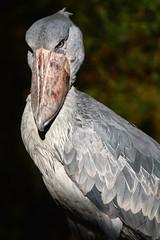 Shoebill portrait (supersky77) Tags: shoebill entebbe zoo uganda africa