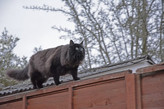 Some magpies are on our roof tiles. (Caulker) Tags: cat vaska fence garden hunter