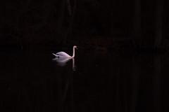 elegance (renatecamin) Tags: wasser water schwan swan bird vogel minimalismus
