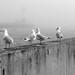 Seagulls, Canal Park 9/5/07