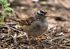 Leaf Munching White-crowned Sparrow (Zonotrichia leucophrys), Bernalillo County, New Mexico USA (MikeM_1201) Tags: whitecrownedsparrow bird animal nature wildlife d500 bernalillocounty newmexico usa afternoon