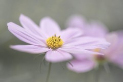 Distance (Anna Kwa) Tags: cosmos asteraceae flowers bokeh macro nature annakwa nikon d750 050mmf28 my distance always seeing heart soul throughmylens life pain journey fate destiny christinaperri spring primavera