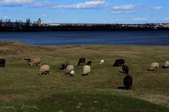 69/365 (ralux2004) Tags: 365daysfrom2019 spring march weekend scenery water animals sheep goat sky clouds