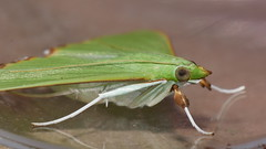 Patchy wing lace moth Parotis suralis Spilomelinae Crambidae Airlie Beach rainforest P1020103 (Steve & Alison1) Tags: patchy wing lace moth parotis suralis spilomelinae crambidae airlie beach rainforest