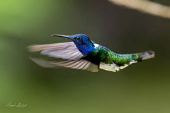 Male White-necked Jacobin (Florisuga mellivora) (Frank Shufelt) Tags: whiteneckedjacobin florisugamellivora male trochilidae hummingbirds aves birds wildlife elensueño circasia quindío colombia southamerica 20190409 april2019 8652