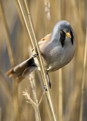 bearded tit (alderson.yvonne) Tags: bird bearded tit male beardedtit yvonne yvonnealderson reeds yorkshire marsh