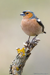 Pinzón Común | Common chaffinch (Fringilla coelebs) (Daniel Meraviglia-C.) Tags: fringillacoelebs pinzóncomún common chaffinch birds birding nature colors red green blue spring naturaleza naturephotography aves avesdeespaña animales animals wildlife wildlifephotography