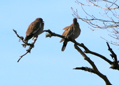 Whitewing Doves (austexican718) Tags: texas native fauna centraltexas hillcountry wildlife winter backyard bird tree