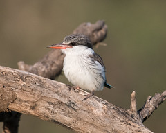 Striped kingfisher (Mark Vukovich) Tags: striped kingfisher bird tanzania serengeti national park