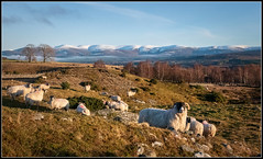 Sheep of Strone (Donald Noble) Tags: badenoch highland invernessshire newtonmore scotland animal fauna flora hill hills ice landscape mammal mountain plant sheep snow tree trees water