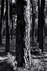 The trunk of an old pine. Monochrome (ALEKSANDR RYBAK) Tags: изображения ствол дерево сосна кора монохромный лес природа свет солнечный тень вечер трава погода пейзаж images trunk tree pine bark monochrome forest nature shine solar shadow evening grass weather landscape ukraine