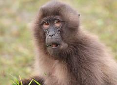 Gelada Blijdorp 094A0464 (j.a.kok) Tags: animal africa afrika aap mammal monkey primate primaat baboon baviaan roodborstbaviaan gelada zoogdier dier blijdorp