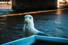 Hello (Мaistora) Tags: bird water river bridge seagull species closeup portrait shadow hue blue wildlife city urban london thames londonbridge southside sunny clear bluesky tint reflected beak eye feathers backlit backlight cityoflondon squaremile england britain uk leica typ109 dlux m43 compact ps lightroom