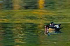 Duck Series - Wood Duck - Male (Beve Brown-Clark) Tags: waterfowl woodduck nature duck duckseries ©bevebrownclark