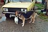 (Chris Hester) Tags: 47 8p northern ireland farmhouse dew dog yellow car sunshine cat