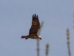 Osprey Hovering looking for food (barrob photos) Tags: arlingtonva osprey