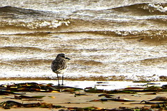 Grey Plover, Port Clinton, Yorke Peninsula, South Australia (Red Nomad OZ) Tags: australia southaustralia portclinton outdoor nature natural seaside yorkepeninsula shorebird shoreline sea beach shore bird wildlife
