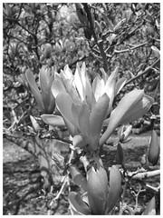 Cylburn Aboretum ~ mono Magnolia (karma (Karen)) Tags: baltimore maryland cylburnarboretum parks gardens trees magnolia blossoms dof bokeh mono bw hmbt iphone cmwd