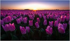 Tulip field at Sunset (Rob Schop) Tags: tulpen tulip samyang12mmf20 wideangle focusstack sunset light pscc lrcc landscape dutch color f56 goereeoverflakkee oudetonge field sonya6000 nofilters