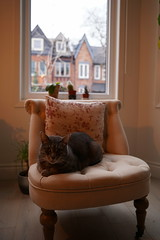 Davy, aristochat (Camusi) Tags: toronto canada ontario april avril spring grey gris cat chat minou davy cabbagetown fauteuil salon livingroom townhouse townhome window fenetre sonyalpha7iii aristochat