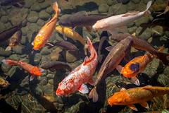 Carpes Koïs (Seb & Jen) Tags: hongkong asia asie park parc koi fish poisson island